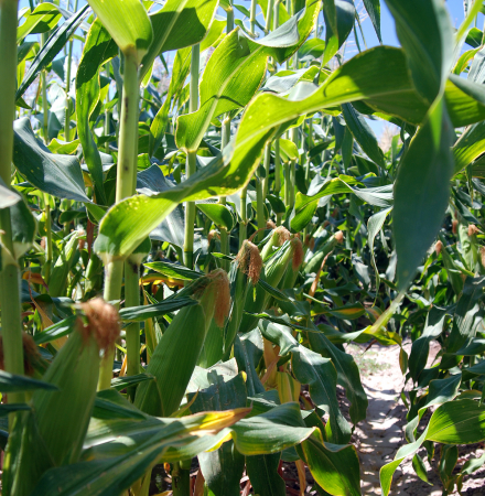 Temptress Sweet Corn 2018 Trial