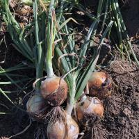 Scout Crookham Seed_Onions_Intermediate
